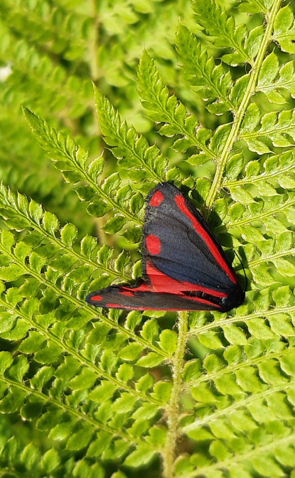 Picture of Cinnabar Butterfly