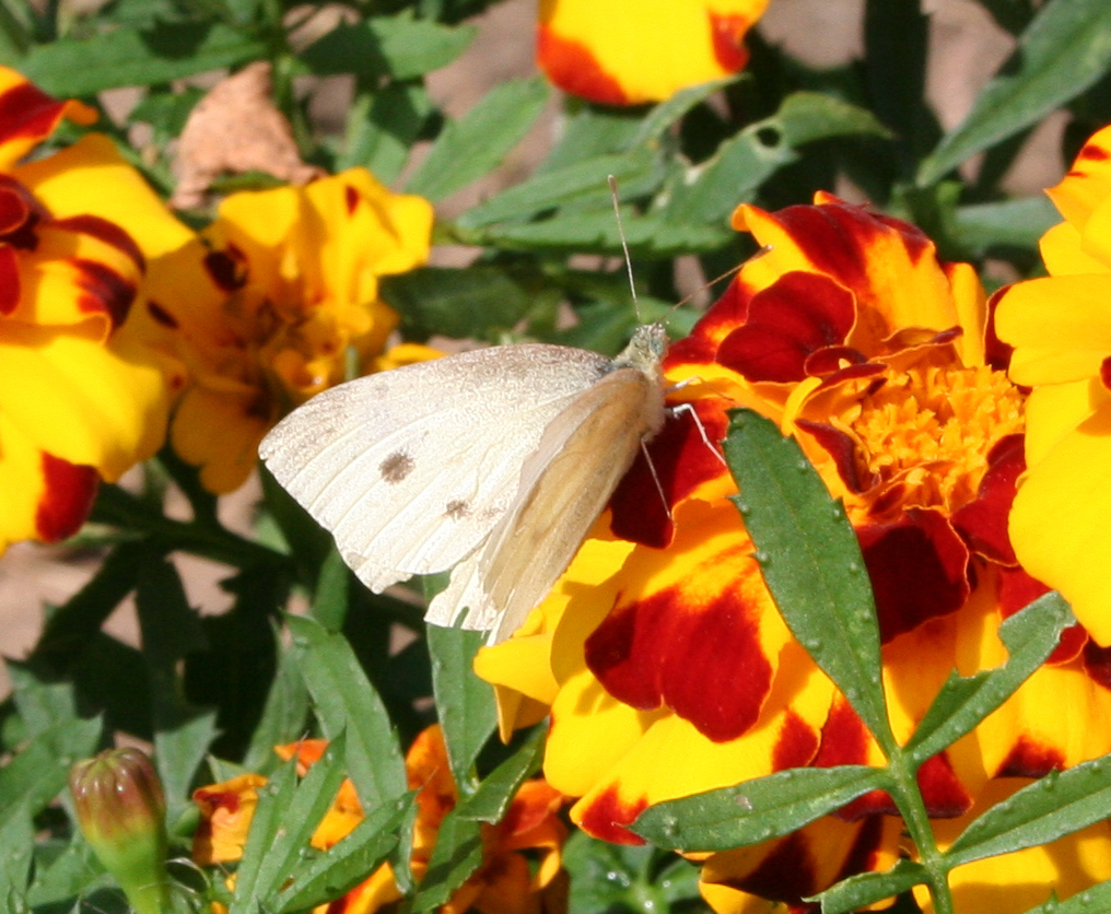 Picture of Large white Butterfly